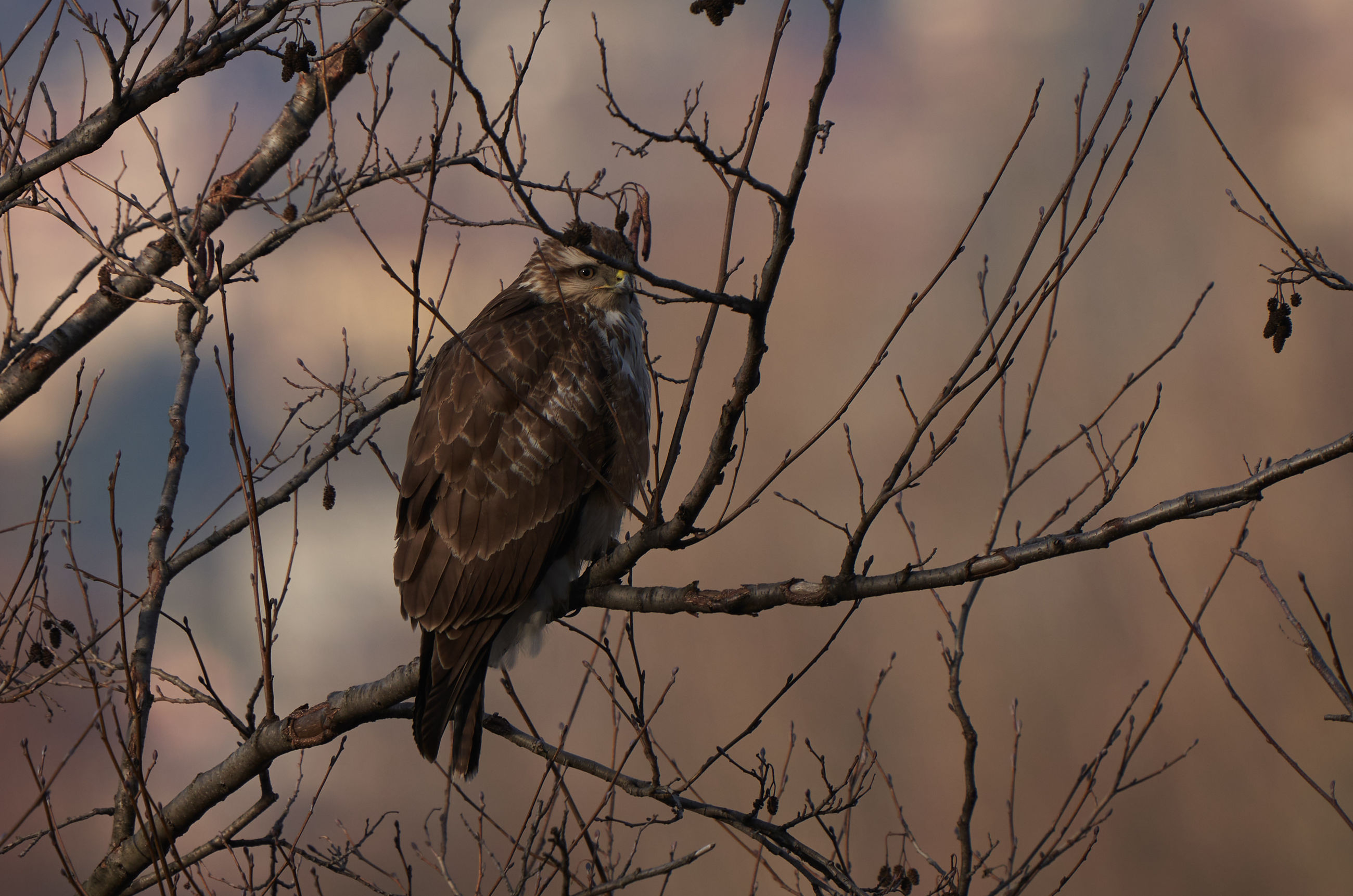 bird, animal themes, wildlife, animal, animal wildlife, perching, tree, branch, bird of prey, nature, one animal, sky, plant, no people, bare tree, sunset, eagle, outdoors, beauty in nature, vulture