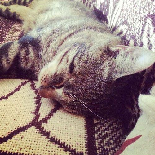 So exhausted ????? Sleepingfurry Cat Teofil Pet vasco vscocam vscopeta vscofeature vscophile follow4follow tags4likes lovely cute buddy