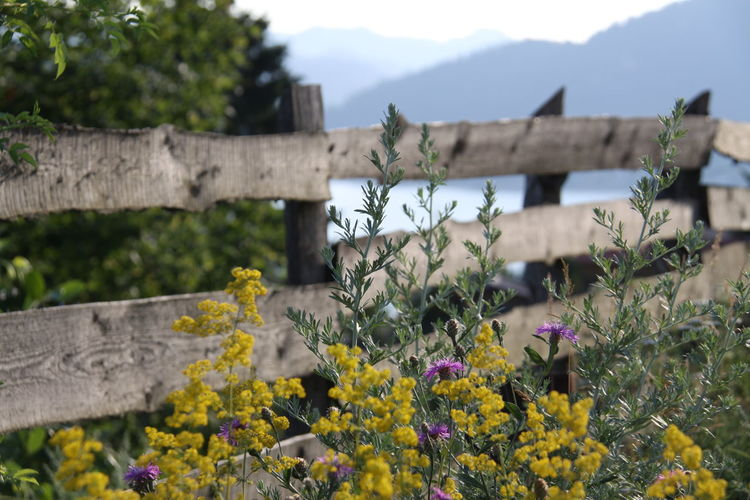 Yellow flowers growing against wooden fence
