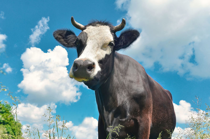 Cow close-up portrait looking into frame on background of blue sky with clouds on pasture