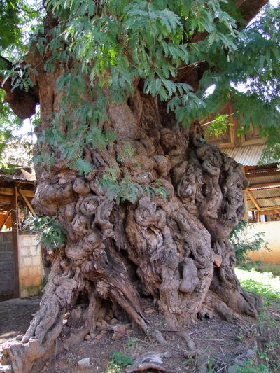 Old Nobbled Tree Trunk at Kakku Beauty In Nature Growth Inle Lake Kakku Myanmar Nature No People Old Old Tree Trunk Shan State Sunlight And Shade Tree Tree Trunk Unusual
