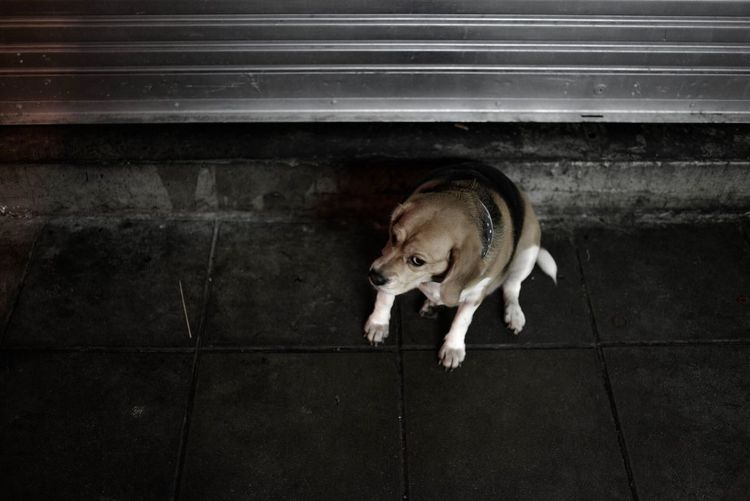 Dog Beagle Streetdog Thailand Bangkok City