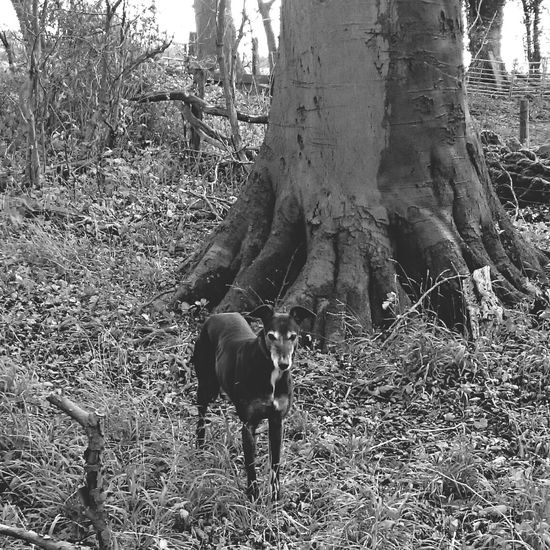 For The Love Of Trees ~ Outdoor Photography Woodlandwalks EyeEm Best Shots - Black + White Blackandwhite Photography Black And White Portrait Greyhound GreyHound Love Greyhoundlovers Dog❤ Dog Love Greyhoundb/w A Walk In The Woods Exploring Woods