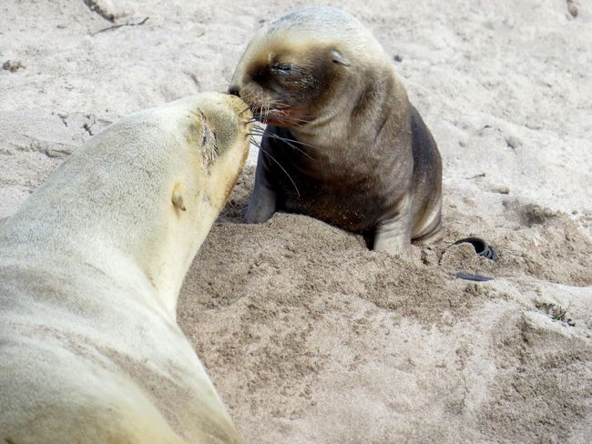 New Zealand Sea Lion pup and mum Pup Love Parental Bonding Sub Antarctics Wildlife Vulnerable Auckland Islands Enderby Island Threatened Species Rare Endemic Species Endemic New Zealand Sea Lion Hookers Sea Lion Whakahao Sand Beach Animals In The Wild Animal Themes Animal Wildlife Relaxation Day Mammal No People Outdoors Nature Aquatic Mammal Sea Lion