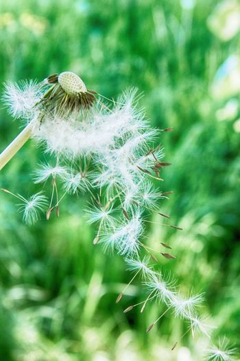 Nature Growth Dandelion Focus On Foreground Fragility Flower Plant Beauty In Nature Green Color Close-up Day No People Softness Outdoors Tranquility Freshness Flower Head Destroyed Ladyphotographerofthemonth Flowers Seeds Grass Hanging Togerherness