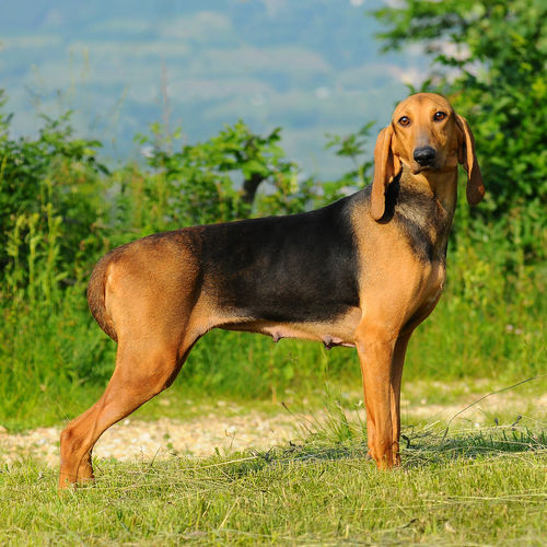 Side view of dog standing on field
