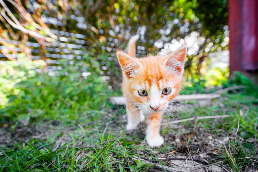 Cute little kitten playing around in the garden Pets Garden Young Cute Kitten Animal Themes Animal One Animal Mammal Pets Vertebrate Feline Portrait Plant Domestic Cat Domestic Domestic Animals Nature Looking At Camera No People Land Day Tree Field Cat