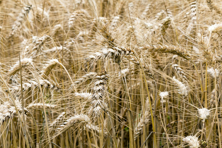Wheat crops close up with a glow from sunlight and shallow depth of field Agriculture Golden Growing Rural Sunlight Wheat Wheat Field Agriculture Beauty In Nature Close Up Crop  Daylight Farming Field Food Growth Harvest Nature Plant Raw Ingredients Texture