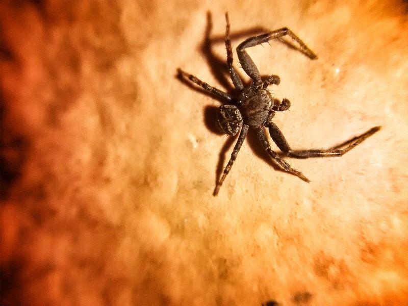Lil' SPIDA ! Alfredbass Macro Spider