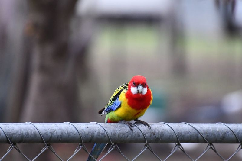 Eastern Rosella EyeEm Selects Bird Vertebrate Animal Wildlife Focus On Foreground One Animal Animals In The Wild Perching Fence Multi Colored Parrot Boundary Barrier No People Day Nature Outdoors Close-up