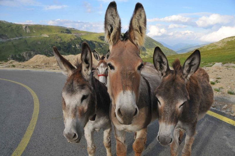 Animal Themes Day Domestic Animals Donkeys Mammal No People Standing Street