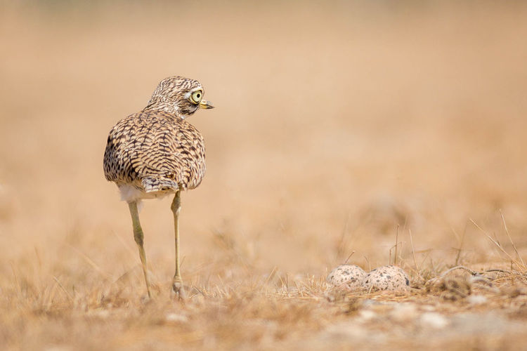 Close-up of spotted thick-knee bird by eggs on field