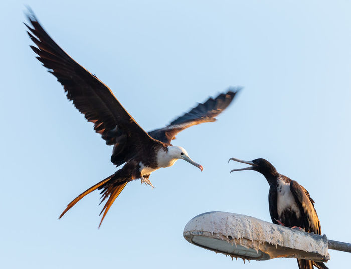Low angle view of frigate birds against clear sky