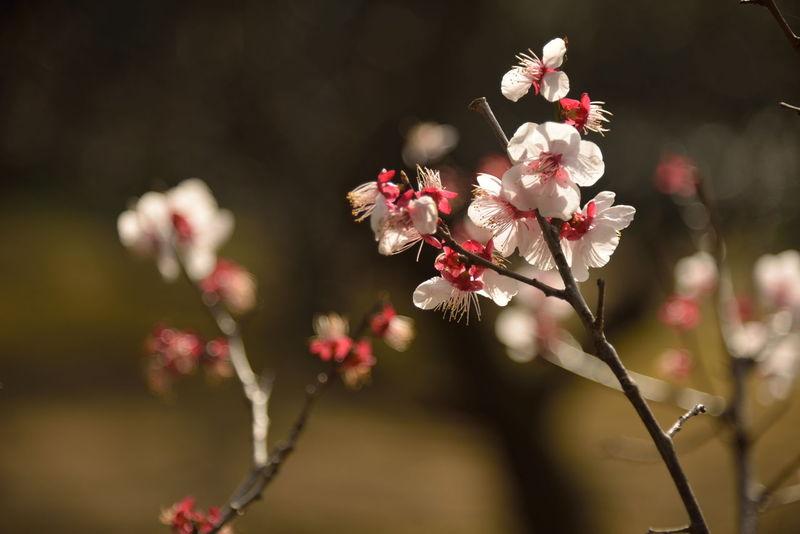千葉県松戸市の戸定邸の梅の花、今季はもう終盤です。 Plumblossom Nature Japanese Garden Flowers Spring Flowers Spring Is Coming  Ume Blossom