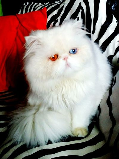 Chat beau Persian Persan