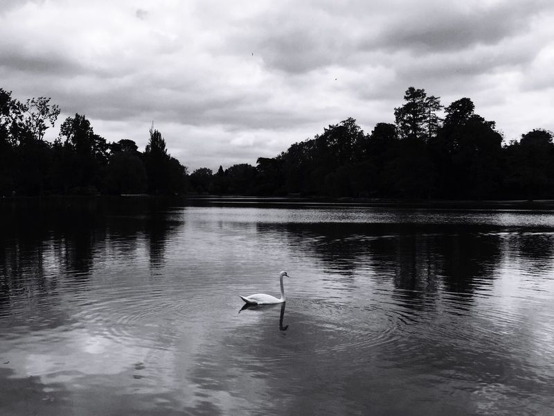 Bois De Vincennes Paris Cygne Blackandwhite Lac