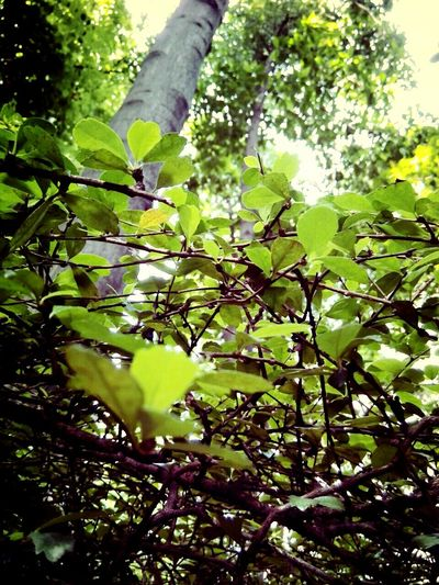Tree Nature Growth Green Color Branch Leaf Plant Outdoors Beauty In Nature Close-up Day No People Fragility Lush - Description Freshness