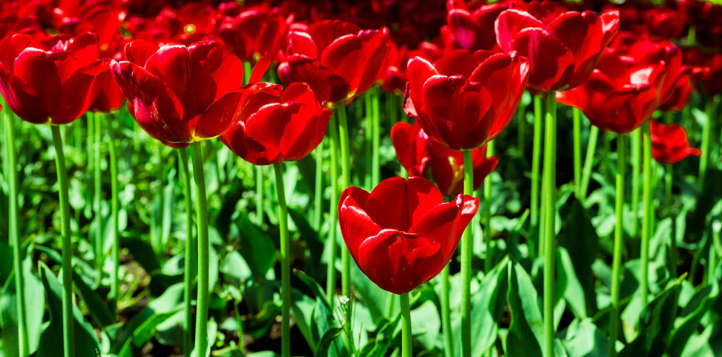 Red Tulips in summer Blossoming  Close-up Flower Flower Photography Freshness Nature Red Tulips Up Close Redspring Flowersspring Garden Spring Summer Tulips Flowers