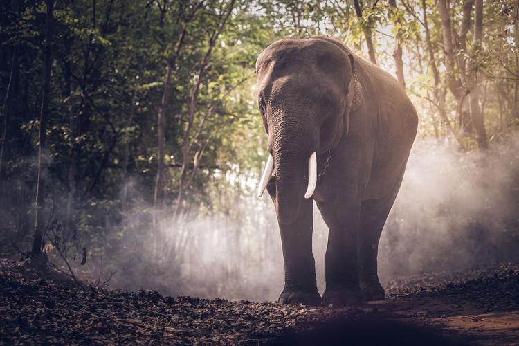 Wild elephants in Asia, Thailand ASIA Cheangmai Phuket,Thailand Thailand Wild Elephants In Asia, Thailand Elephant Elephen Mountai Elephent Sanctuariy Surin