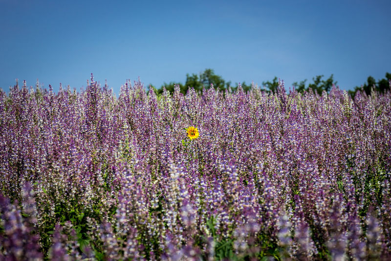 Lavender fields of Valensole, France Beauty In Nature Close-up Day Field Flower Flower Head Flowerbed Flowering Plant Fragility Freshness Growth Land Lavender Lavender Colored Nature No People Petal Plant Purple Scenics - Nature Sky Vulnerability