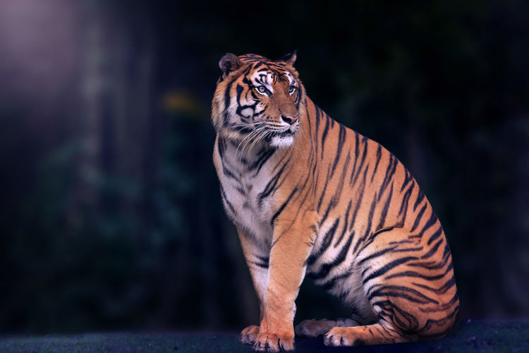 Bengal tiger and black background. Copy space Tiger Animal Wildlife One Animal Feline Mammal Cat Big Cat Animals In The Wild Striped Endangered Species No People Nature Focus On Foreground Vertebrate Carnivora Zoo Undomesticated Cat Whisker