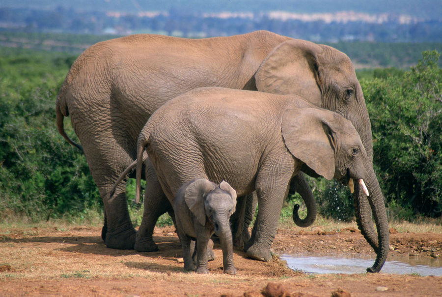 Africa Africa Wildlife Elephant Family Elephants Elephants,National Park,Wild Life, Wild , Mammals, Herbivores, Pachyderm,Zoo,National Park, Nature_collection South Africa Young Elephants Art Is Everywhere