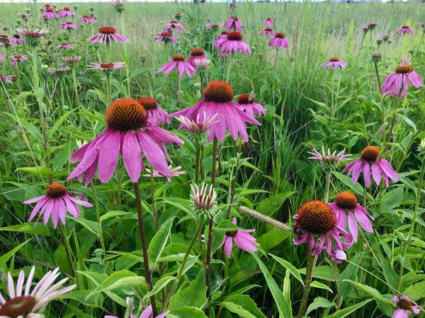 Flower Eastern Purple Coneflower Purple Growth Petal Fragility Coneflower Nature Pink Color Beauty In Nature Freshness Day Plant Flower Head Outdoors Blooming No People Close-up