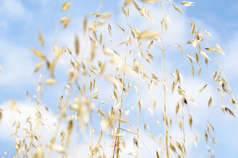 Summer sky through a field Sky Summer Agriculture Nature Field Backgrounds Cereal Plant Outdoors No People Beauty In Nature Crop  Soft Light