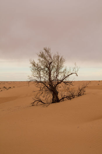 View of bare tree on desert