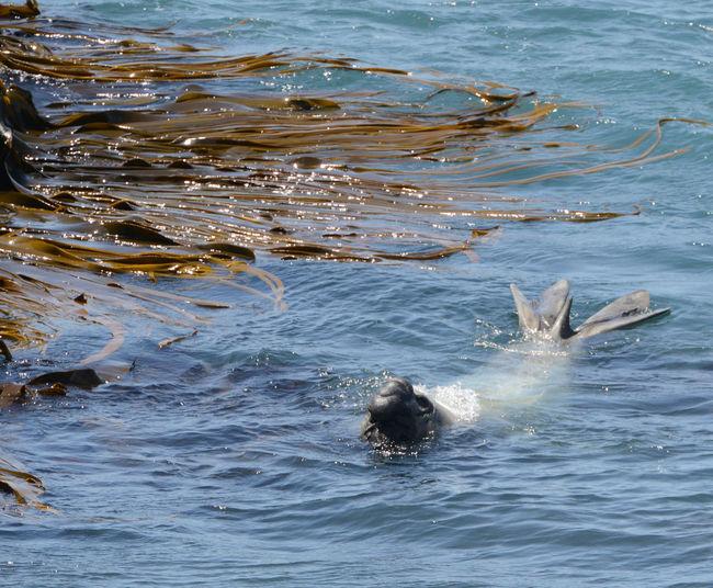 See Elefant frisst Robbe Größte Art Der Robben Und Damit Der Größte Vertreter Der Ordnung Raubtiere (Carnivora) Januar 2016 NZ Neuseeland Adventure Newsealand
