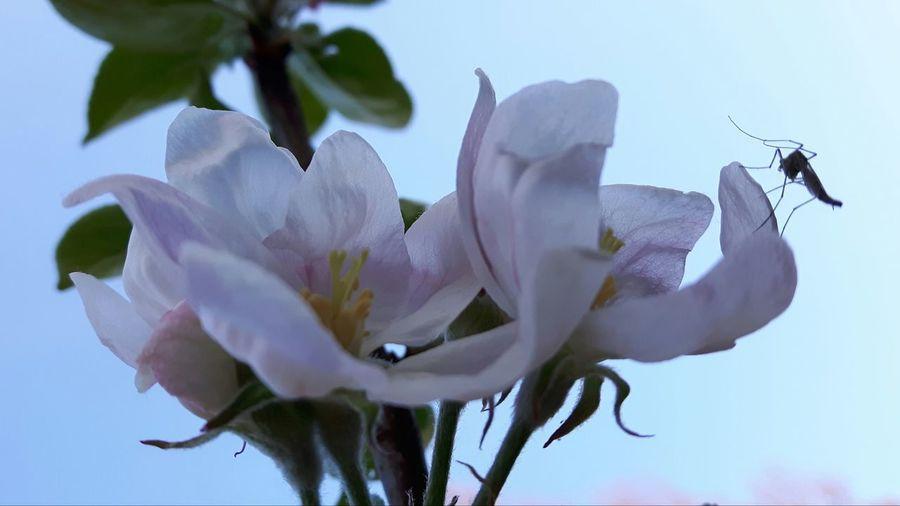 Mosquito Mug Appel Blossom Flower Head Flower Petal Close-up Plant