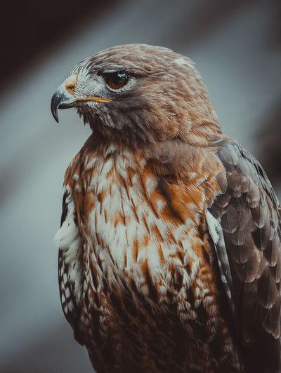 Close up of a bird of prey looking away