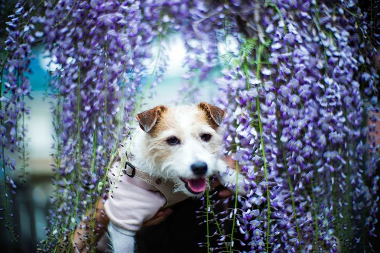 Portrait of dog on wisteria flowering plants