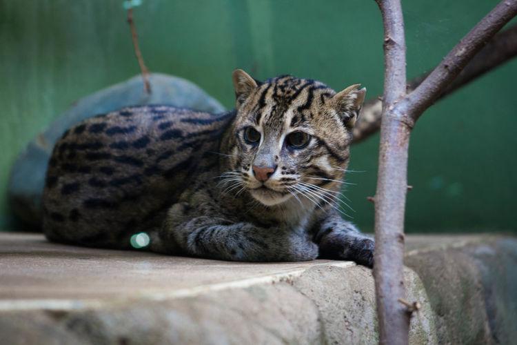 Wild cat in a zoo