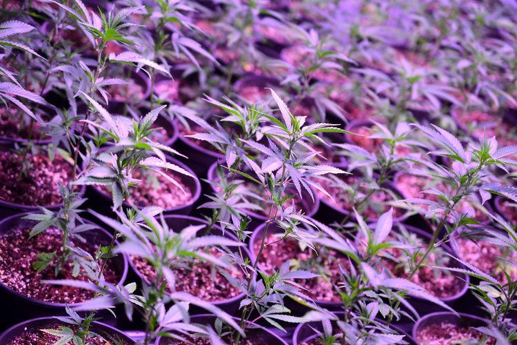 marijuana growing in a factory Marijuana - Herbal Cannabis Marijuana Joint Marijuana Plant Marijuana Factory Produce Potted Plant Factory Marihuana Legal Pot Growing Light And Shadow Artificial Light Plant Close-up Medicine Medicine Plant