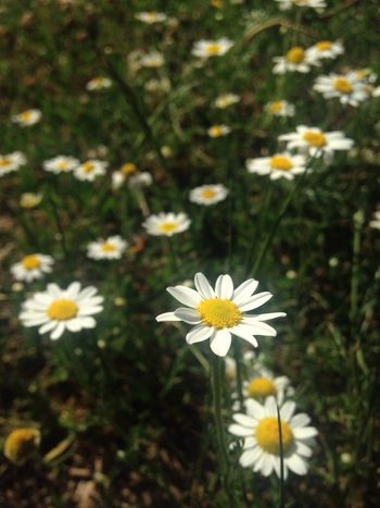 Daisys Daisychain Flowers Spring Flowers Nature EyeEm Nature Lover Eyeemgallery 🍃🌼🍃 I just might have enough to make a daisy chain! 🍃🌼🍃🌼🍃🌼🍃🌼🍃🌼🍃🌼🍃