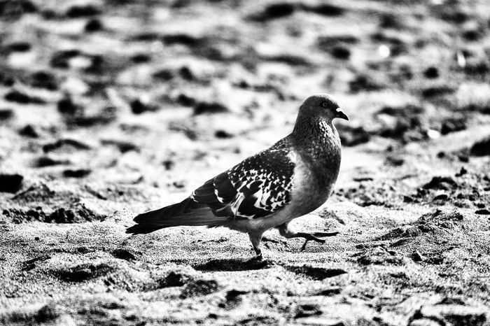 Pidgeon walking on sand Bird Animals In The Wild Animal Themes Nature No People Outdoors Day Close-up Pidgeon  The Week On EyeEm