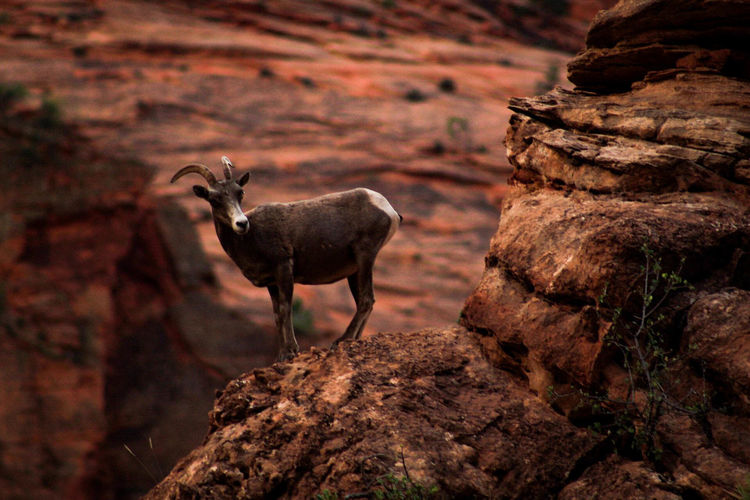 Adventure Photography Explore Everything Horns Mountain Goat Travel Photography Utah Wildlife Photography Zion National Park Backpacker Photography Deserted Mammal Nature Rock - Object Fresh On Market 2017
