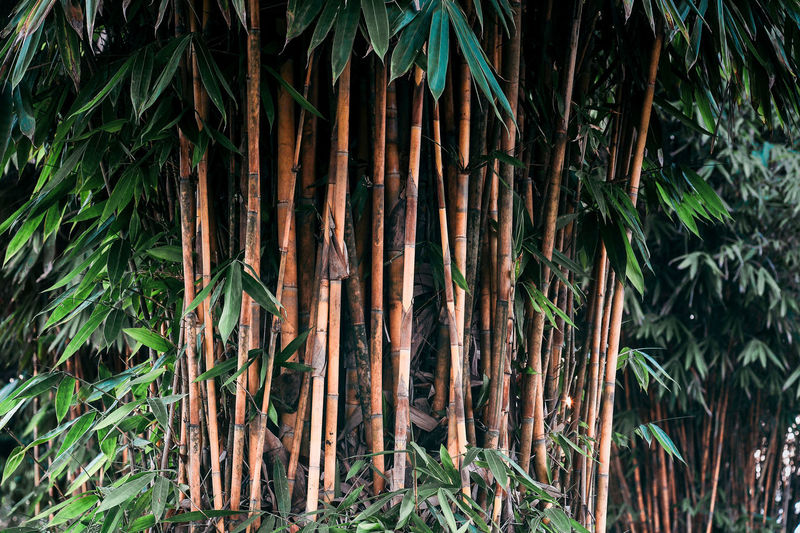 Plant Growth Tree Plant Part Nature Leaf Bamboo - Plant Tranquility Bamboo Forest Outdoors Field Beauty In Nature Tropical Climate No People Botanical Garden Panda Rainforest