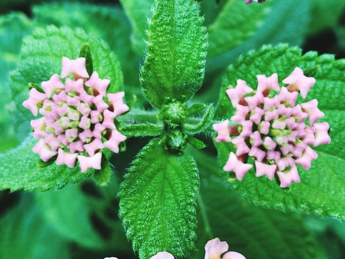 Plant Green Color Leaf Growth Beauty In Nature Nature Flower Pink Color Fragility Freshness Focus On Foreground Flower Head Close-up No People Day Blooming Petal Outdoors Lantana Camara Duality Of Nature The Beautiful Of Simplicity