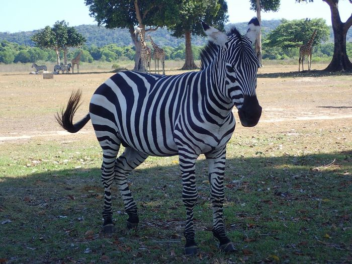 EyeEm Diversity Calauit Wildlife Safari Park Coron Olympus TG-4 Zebra Black And White Black White Stripes Sunny Day Ancestors From  Kenya Preserved