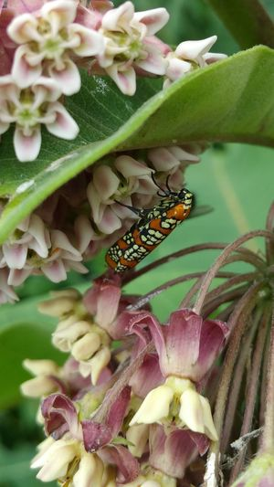 Ailanthus Webworm Moth Flower Collection Flowers Close-up Flower Photography Showcase: July Samsung Galaxy Note 4Nature Photography Nature_collection Insect Insect Photography Moth Maximum Closeness My Year My View