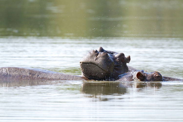Hippos Relaxing In River