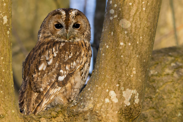 Animal Themes Animal Wildlife Animals At Dusk Animals In The Wild Bird Bird Of Prey British Nature Brown Owl Close-up Day Nature No People One Animal Outdoors Owl Owl In Daylight Owl In Tree Hollow Perching Tawny Owl Tawny Owl In Daylight Tawny Owl In Tree Tree