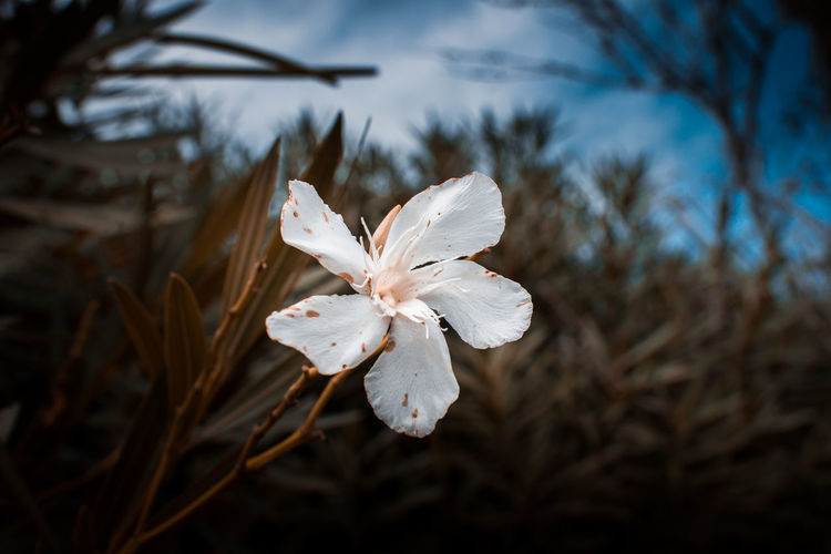 White Color Plant Flower Close-up Flowering Plant Growth Focus On Foreground Petal Beauty In Nature Vulnerability  Tree Fragility No People Nature Freshness Inflorescence Flower Head Day Selective Focus Outdoors Pollen Iris - Plant Cherry Blossom Oleander Mallorca