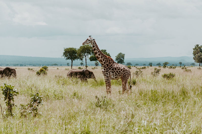 Giraffe and elephants on the field in mikumi national park