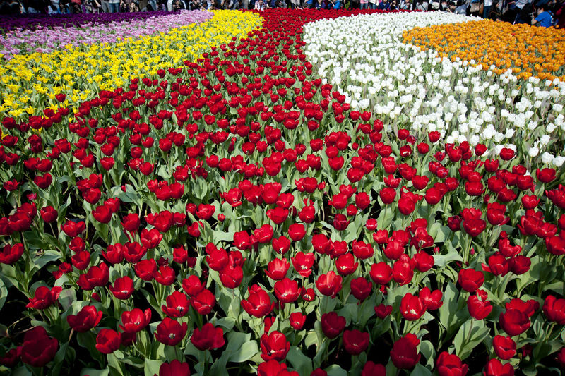 Beauty In Nature Blooming Botany Day Flower Flower Head Freshness Growth In Bloom Nature No People Outdoors Petal Plant Tulip Tulips Tulips Flowers Tulips🌷 Color Of Life