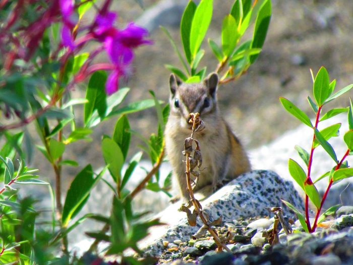 Visitor Kluane Lake Yukon Chipmunk Hiding Animal Animal Themes Animal Wildlife One Animal Animals In The Wild Mammal Plant Nature No People Leaf Plant Part Day Looking At Camera Rodent Growth Close-up The Great Outdoors - 2019 EyeEm Awards My Best Photo