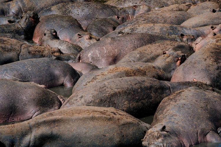 Animal Themes Animals In The Wild Arusha Day Hippo Hippopotamus Horizontal Large Group Of Animals Mammal Nature Ngorongoro Ngorongoro Crater No People Outdoors Safari Serengeti Serengeti National Park Tanzania Wildlife