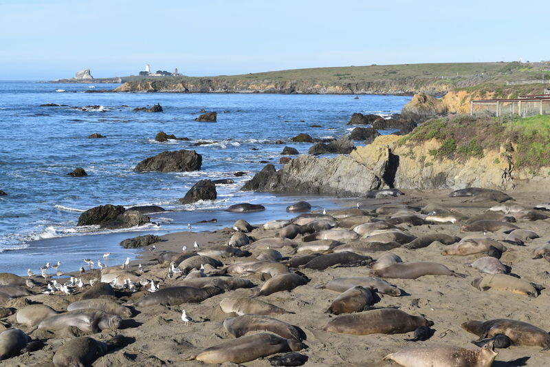 Adult Beach Coastline Day Elephant Seal Large Group Of Animals Nature One Person One Woman Only Outdoors People Rock - Object Sea Seal Sky Water